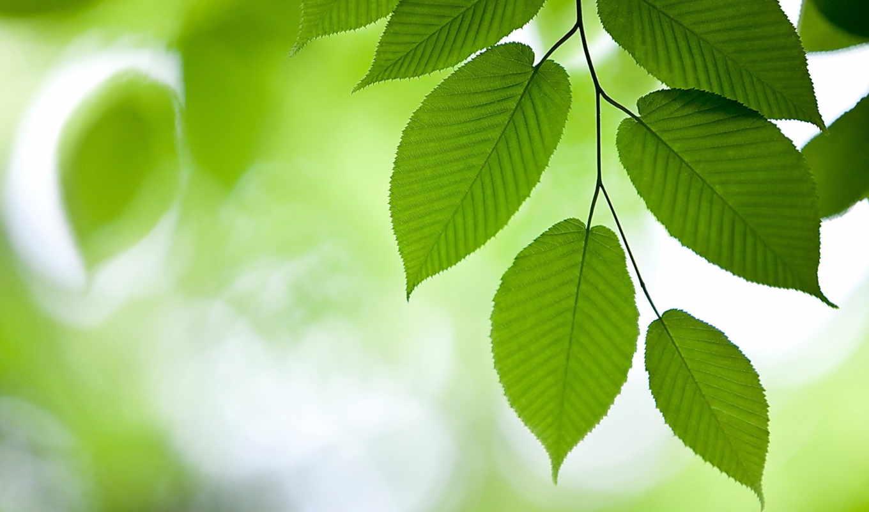 вяз, зелёный, ветвь, листва, картинка,