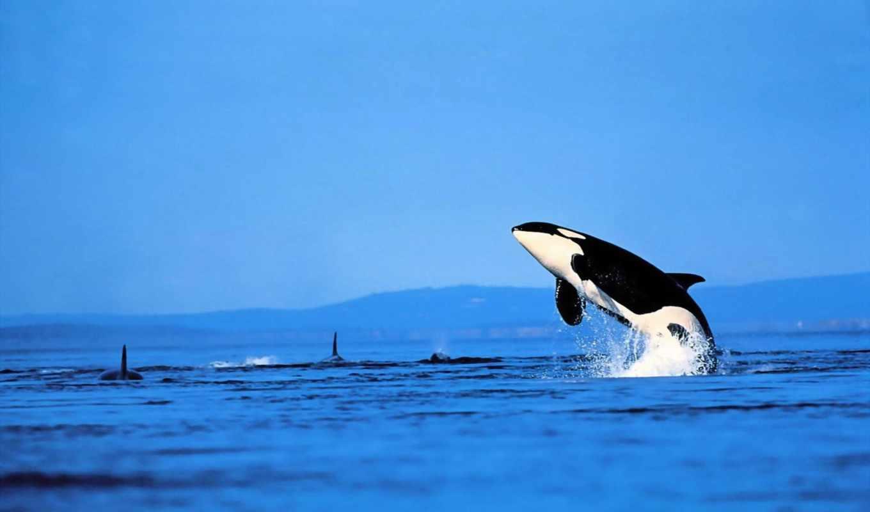 касатка, касатки, океан, касаток, животные, небо, китов, категория, картинка, изображения, full, акула, фотографии,