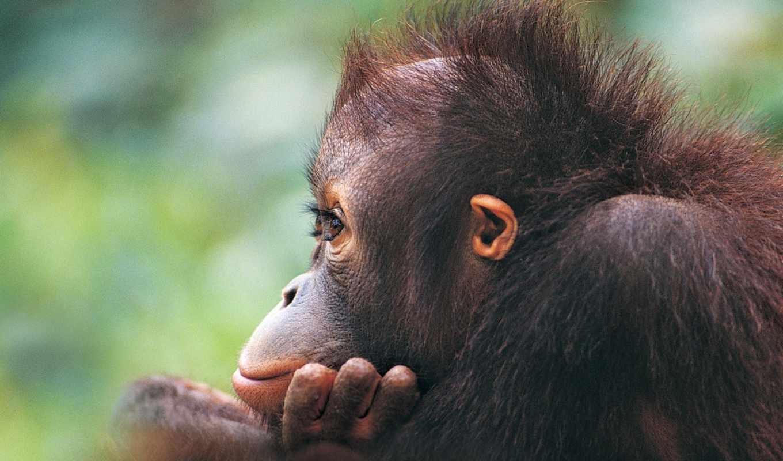 обезьяна, обезьяны, шерсть, орангутан,
