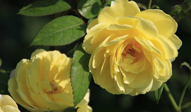 цветы, розы, крупным, планом, yellow, wallpaperz, цветочная,