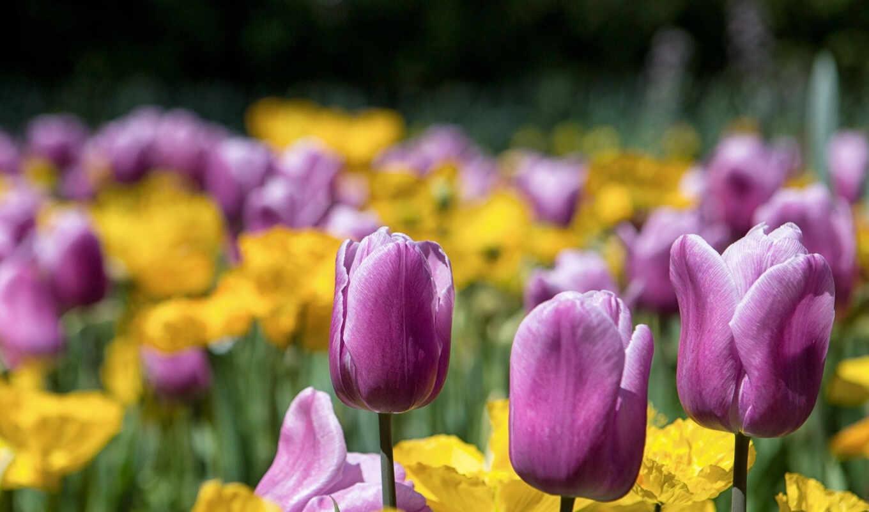 тюльпаны, cvety, полевые, квіти, польові, фиолетовые,