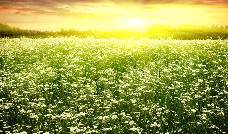 поле, цветы, картинка, цветение, природа, весна,