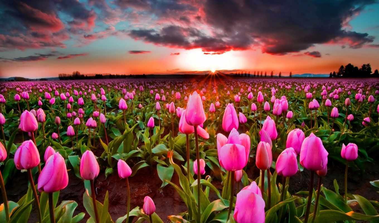 тюльпаны, cvety, всех, всем, их, радость, уголков, планеты, сетевом, изданий,