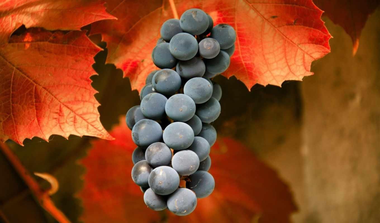 виноград, листья, осень, макро, фото,