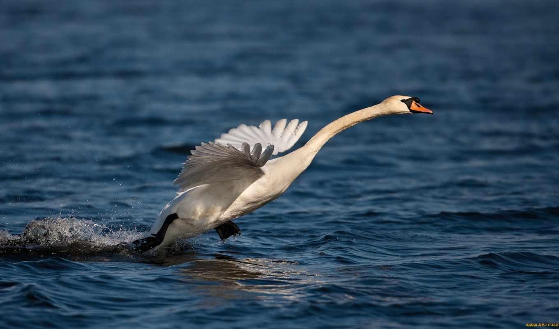 звезды, лебедь, макро, природа, птица, взлёт, благородная, вода, звезда, животные,