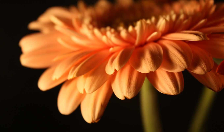 gerbera, цветы, герберы, лепестки, flowers, бутон,