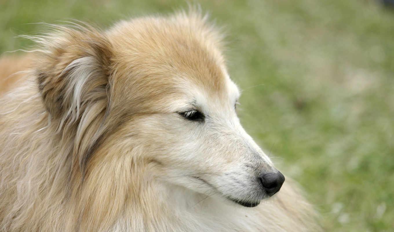 krasota, собака, портрет, собака, собаки, животных,