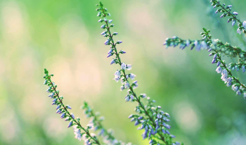 heather, цветы, разных, стеблях, разрешениях,