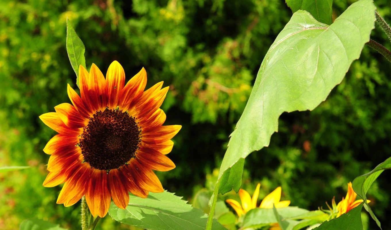 цветы, подсолнух, день, вк,