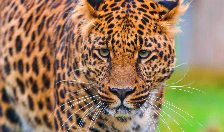 леопард, морда, zhivotnye, смотрит, предоплата, холсте, фотопечать,