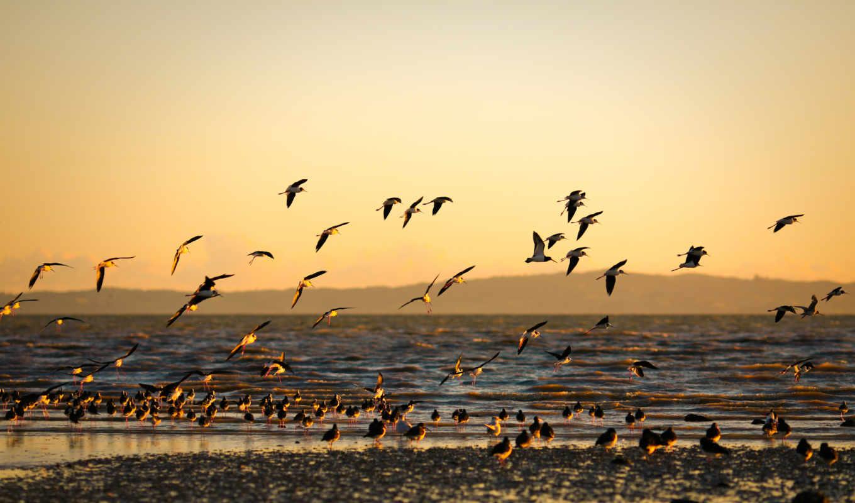 морской, море, берег, птицы, закат, золотой, пейзажи, дек, wallpaper,