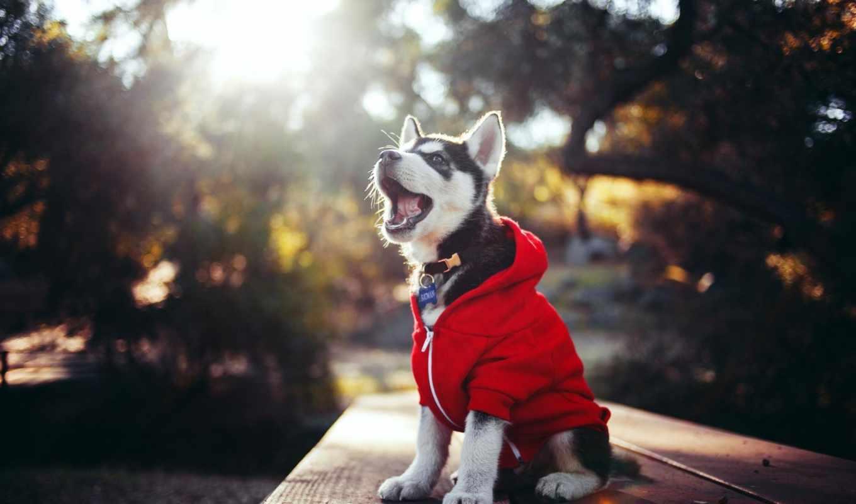 хаски, щенок, собака, zhivotnye, glaza, голубые,