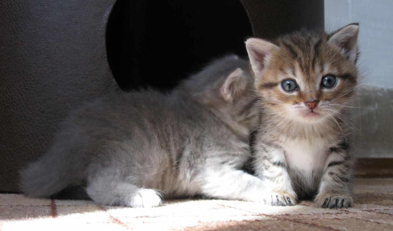 котята, малыши, котенок, серый, взгляд, pair,