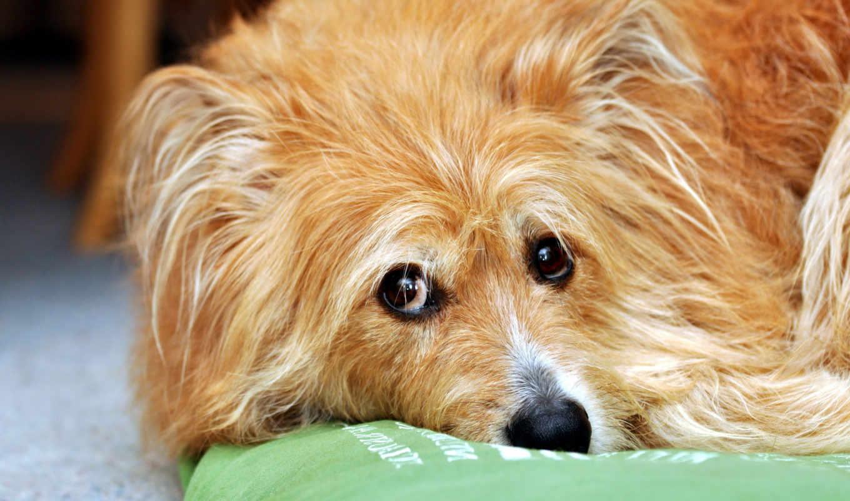 nie, fondos, млекопитающее, jest, dużo, собака, mówić, desktop, pies, так,