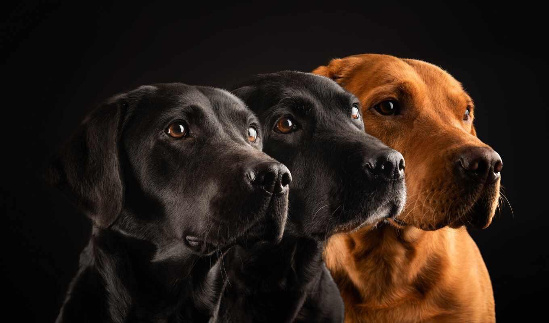 собака, negro, labrador, fondo, white, foto, getty, animal, тигр, im-gene, картинка