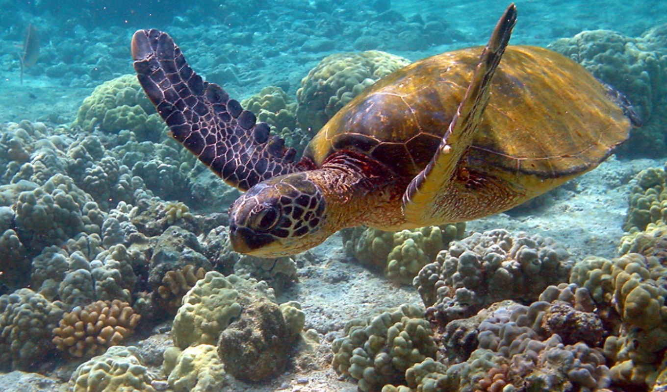 turtle, sea, the, pictures, pdf, wallpapers, turtl