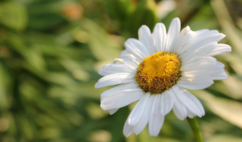 цветок, ромашка,