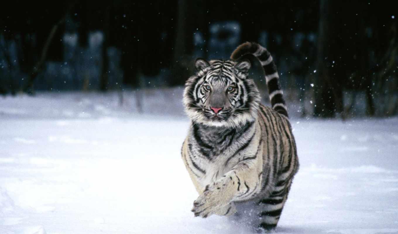 тигр, снегу, white, кошки, тигры,