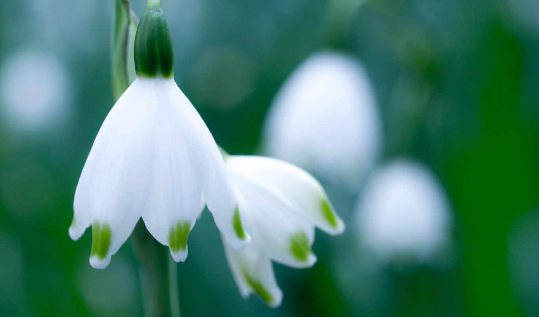 белый, подснежник, зелень, макро, цветок, весна, картинка, белые,