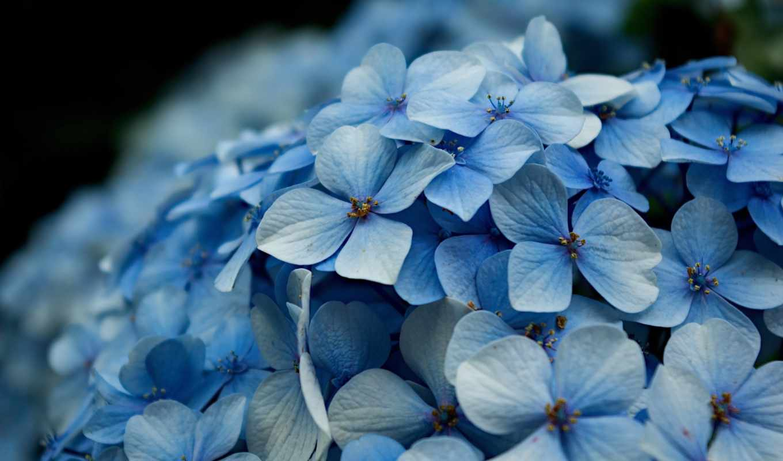 гортензия, цветы, макро, боке,