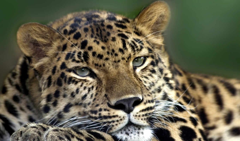 zhivotnye, россии, животных, леса, зверь, animal, редких, лесах, отзывы, лесных, леопард,
