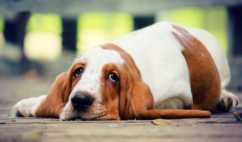 собака, лежит, собаки, породы, бассет, грустная, полу, хаунд, взгляд,