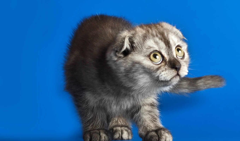 scottish, фолд, кот, animals, страница, desktop, tokkoro, cute,