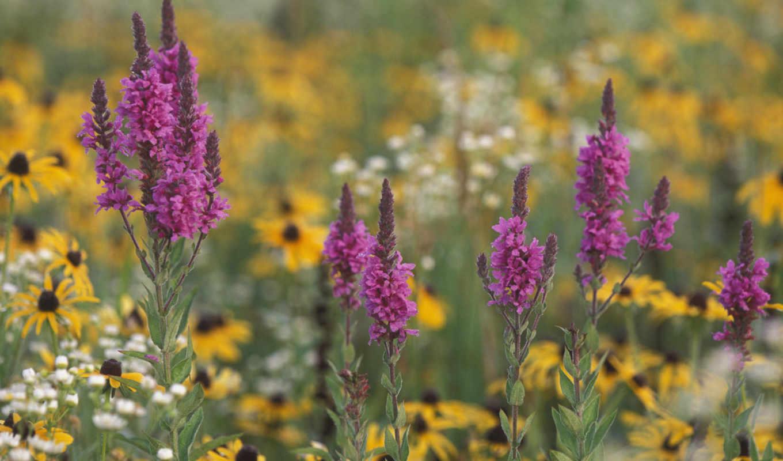 картинка, красиво, вид, field, горизонтали, вертикали, имеет, wallpaper, and, wildflowers, michigan,