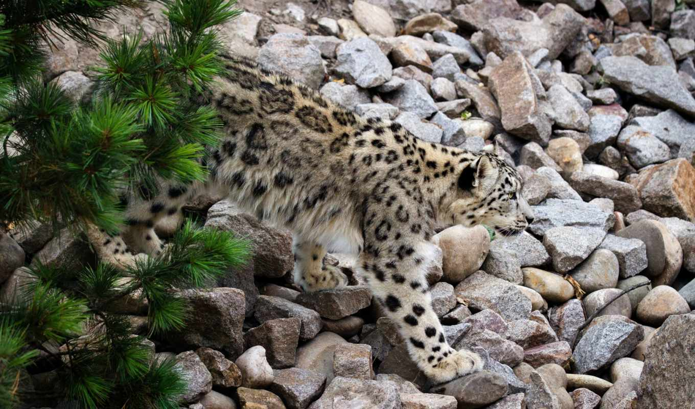 zhivotnye, камни, кошки, большие, кот, побережье, леопард, море, снег, два,