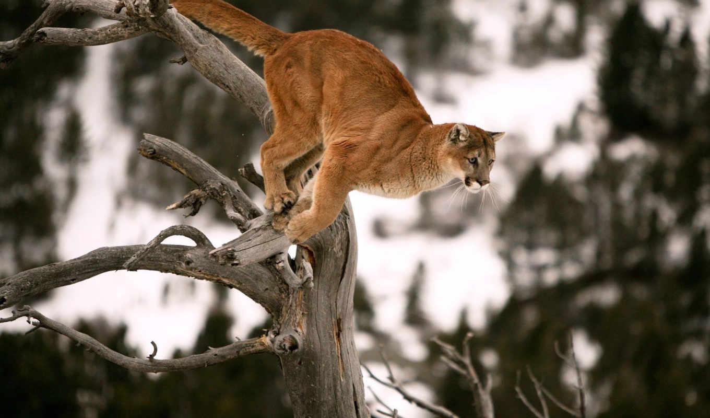 puma, прыжок, прыжке, дерево,