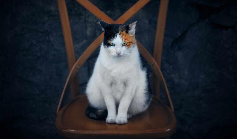 кот, sit, majestic, кресло, id, smartphone, картинка, фон, окно, mac, notebook