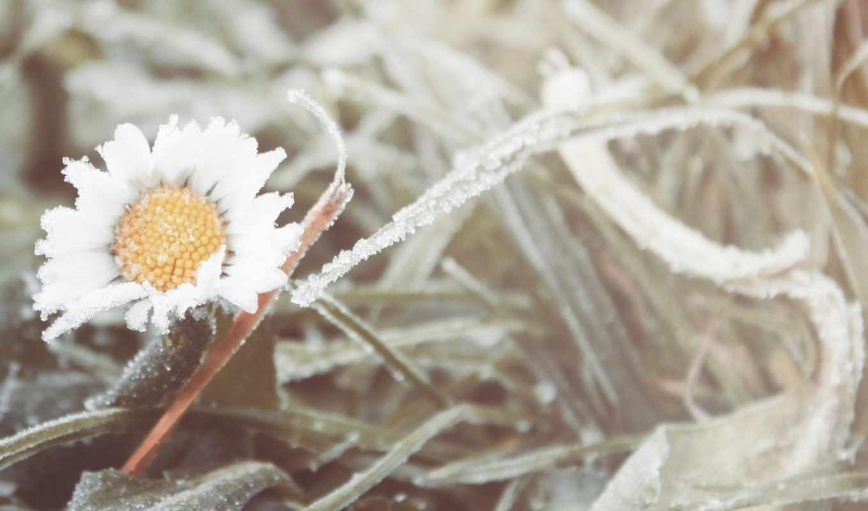 ромашка, цветок,