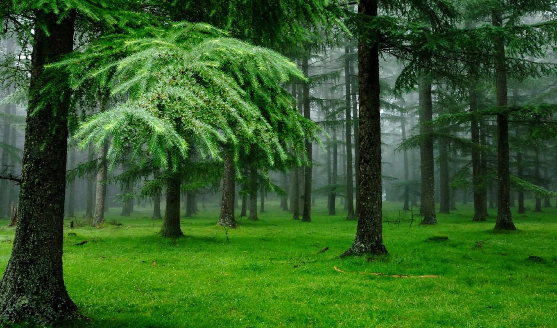 лес, деревя, iphone, разрешением, природа, картинка, ельнике, туман,