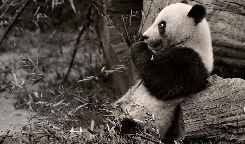 животные, панды, медведи, гризли, wednesday, панда, бурые, май, ветки,