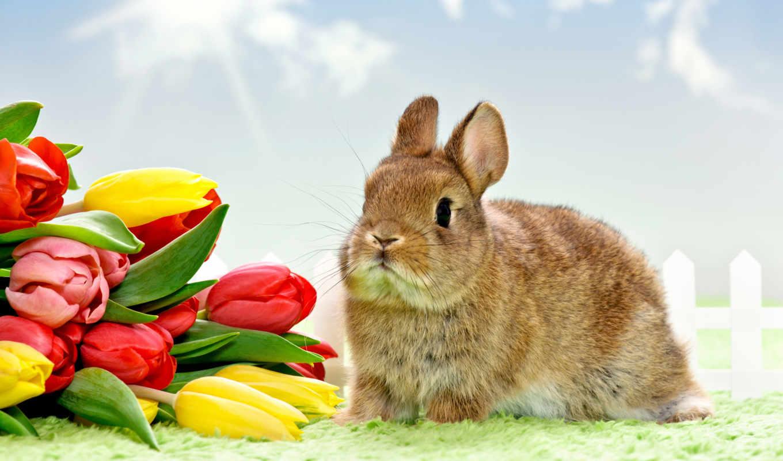 tulpen, кролик, hintergrundbild, уши, foto, feiertage, ostern, kaninchen, tiere, bilder,