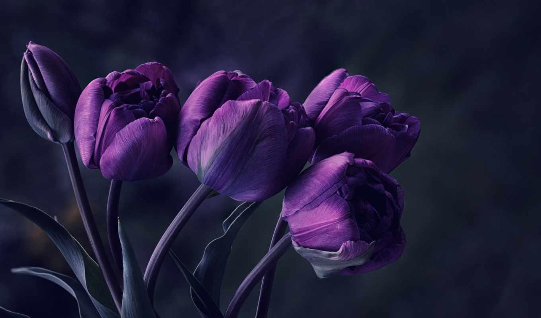 цветы, фиолетовые, тюльпаны,