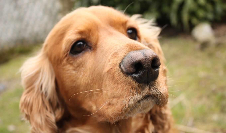 собака, собак, спаниеля, spaniel, породы, щенка, cocker, спаниели,