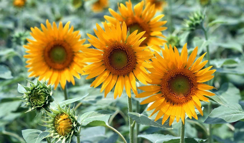 картинка, телефон, cvety, hương, dụng, hoa, подсолнух, au, растение, display