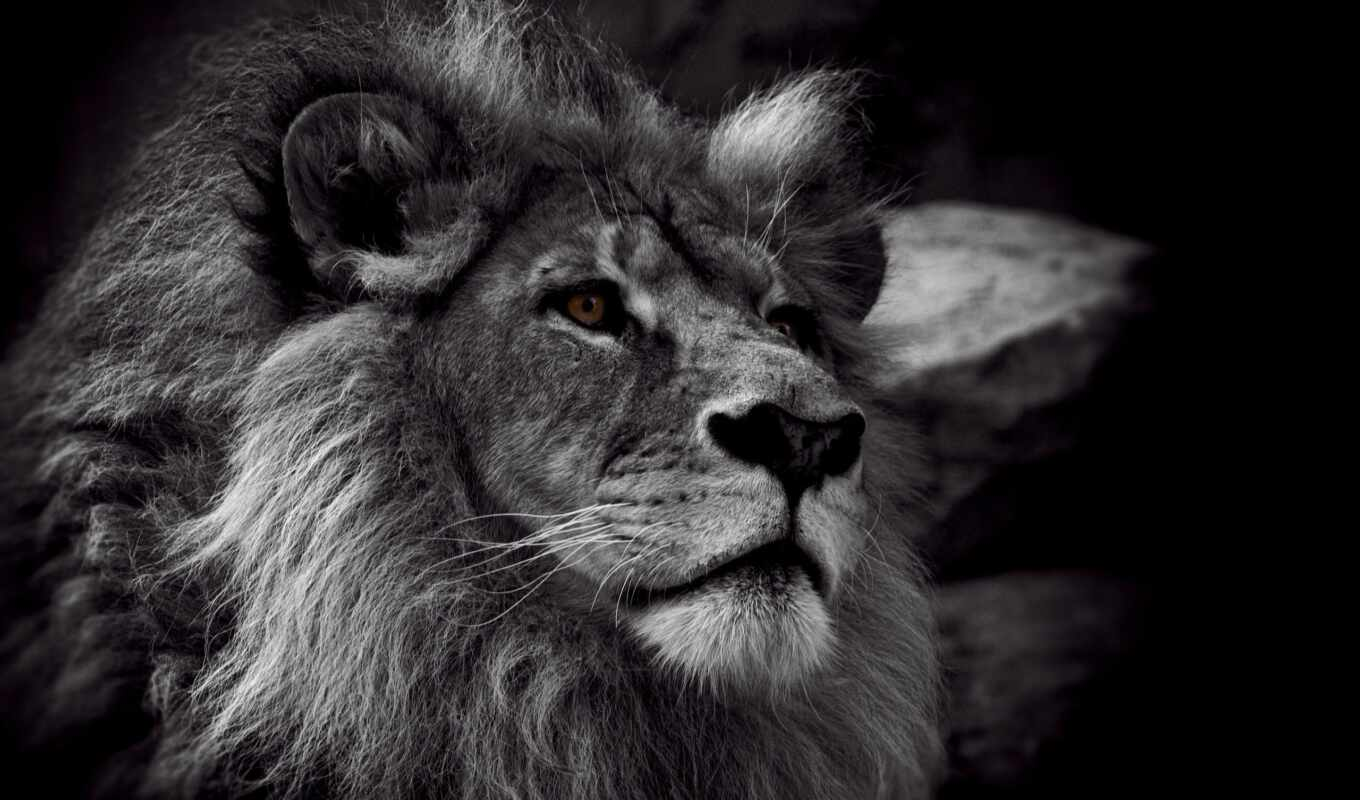animal, black, white, left, lion, гордый