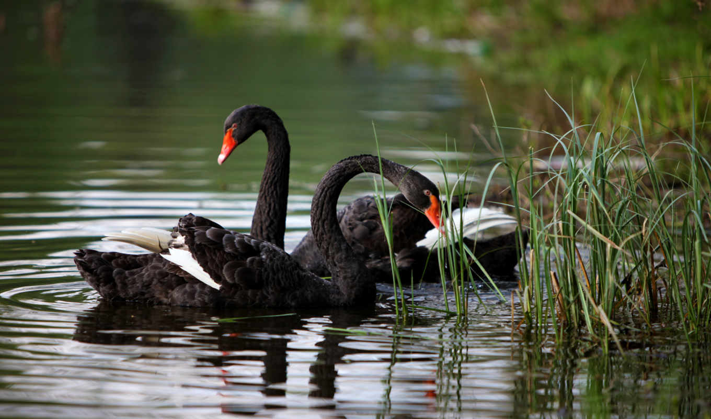 обои, лебеди, пруд, животные, черные, озеро, приро