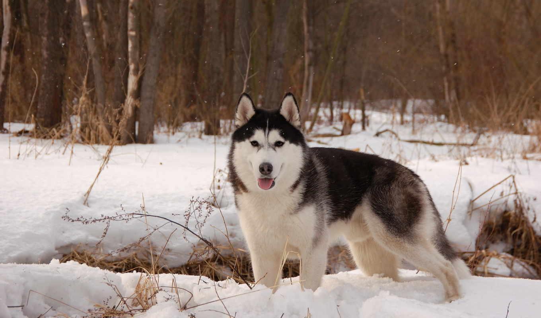 хаски, собаки, winter, собака, снег,