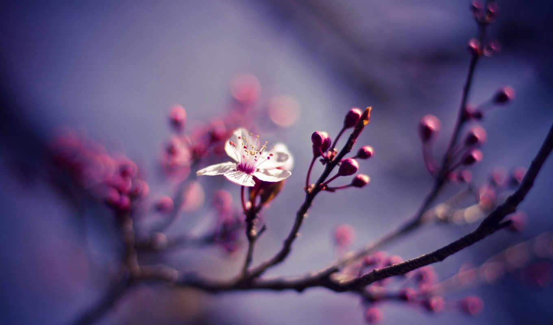 цветы, cherry, макро, широкоформатные, природа,