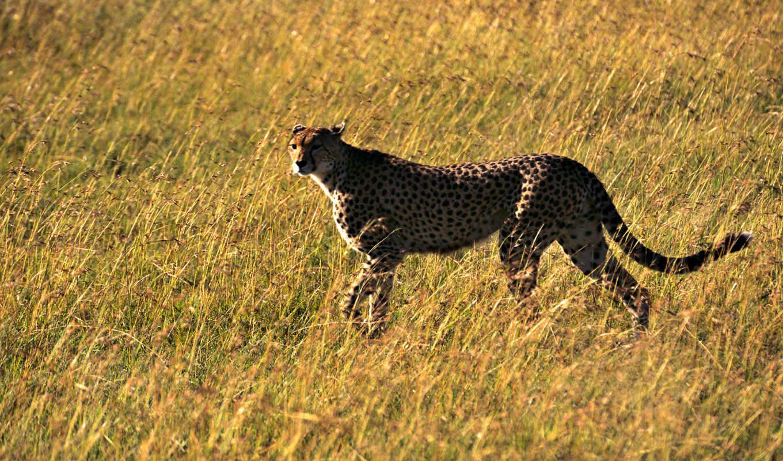 гепард, быстрый, обоев, самый, зверь, картинка, коллекция, картинку, aanimal, animals, en,