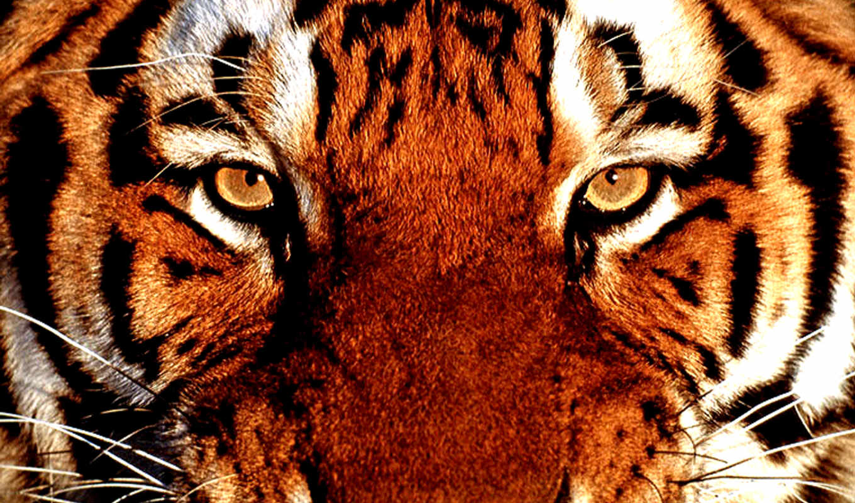 тигр, они, тигры, тигра, тигров, survivor, песнь, выносливости, tigris,