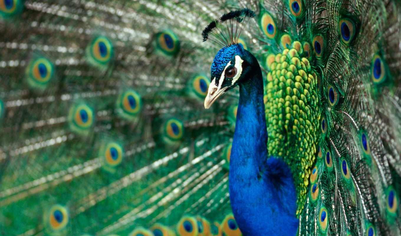 peacock, tail, павлины,