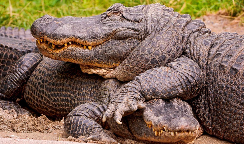 крокодилы, zhivotnye, коллекция, para, от,