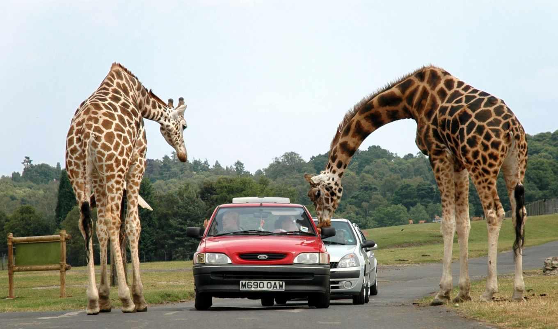 лет, природе, жираф, zhivotnye, дикой, жирафы, жирафа, жирафов,