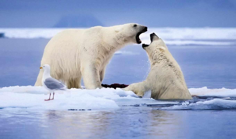 zhivotnye, картинка, белые, снег, птица, norwegian, море, льдины, чайка,