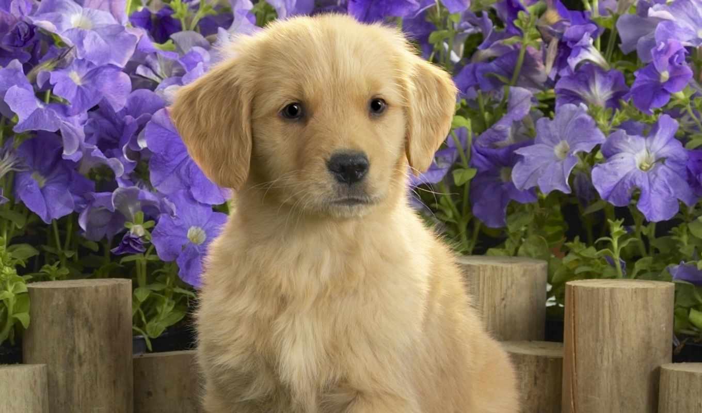 щенок, цветы, лабладор, картинку, картинка, мыши, кнопкой, yellow, картинками, labrador, кликните, кномку, понравившимися, левой, салатовую, поделиться, же, так,