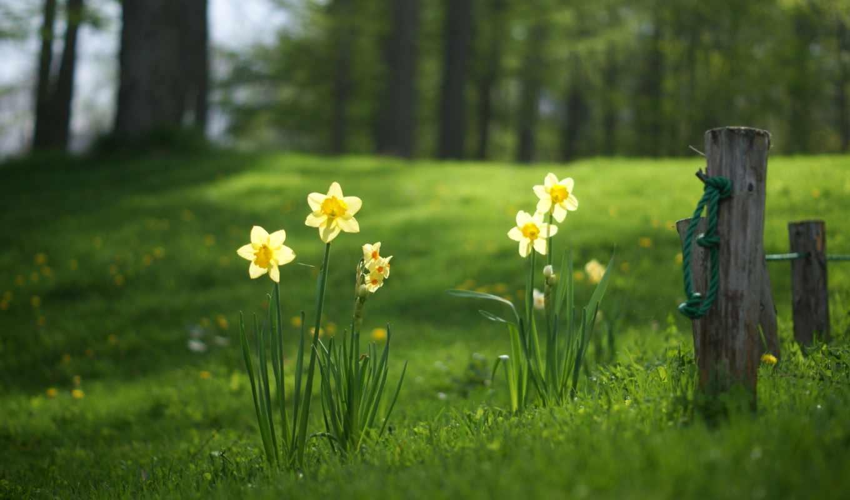 красивые, весенние, весна, нарциссы, поляна, цветы, трава, www,